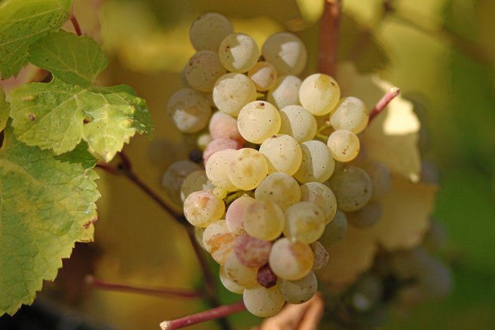 photo-2-riesling_grapes_leaves-fileminimizer