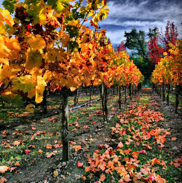 vineyard_in_napa_valley-fileminimizer